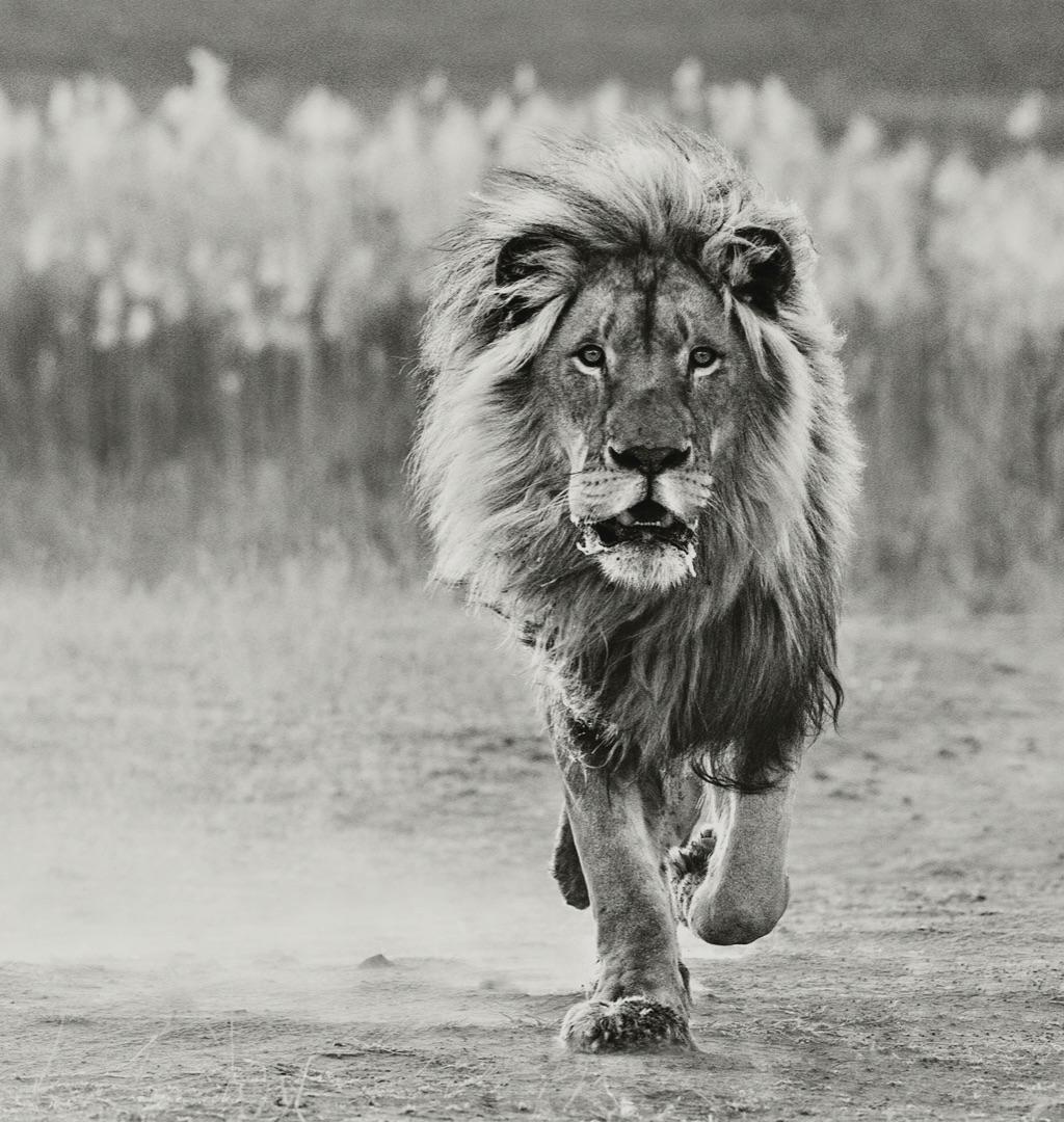 Yarrow lion photo