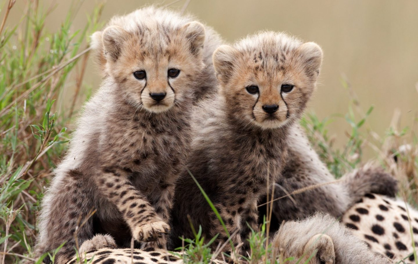 Cheeta Cubs