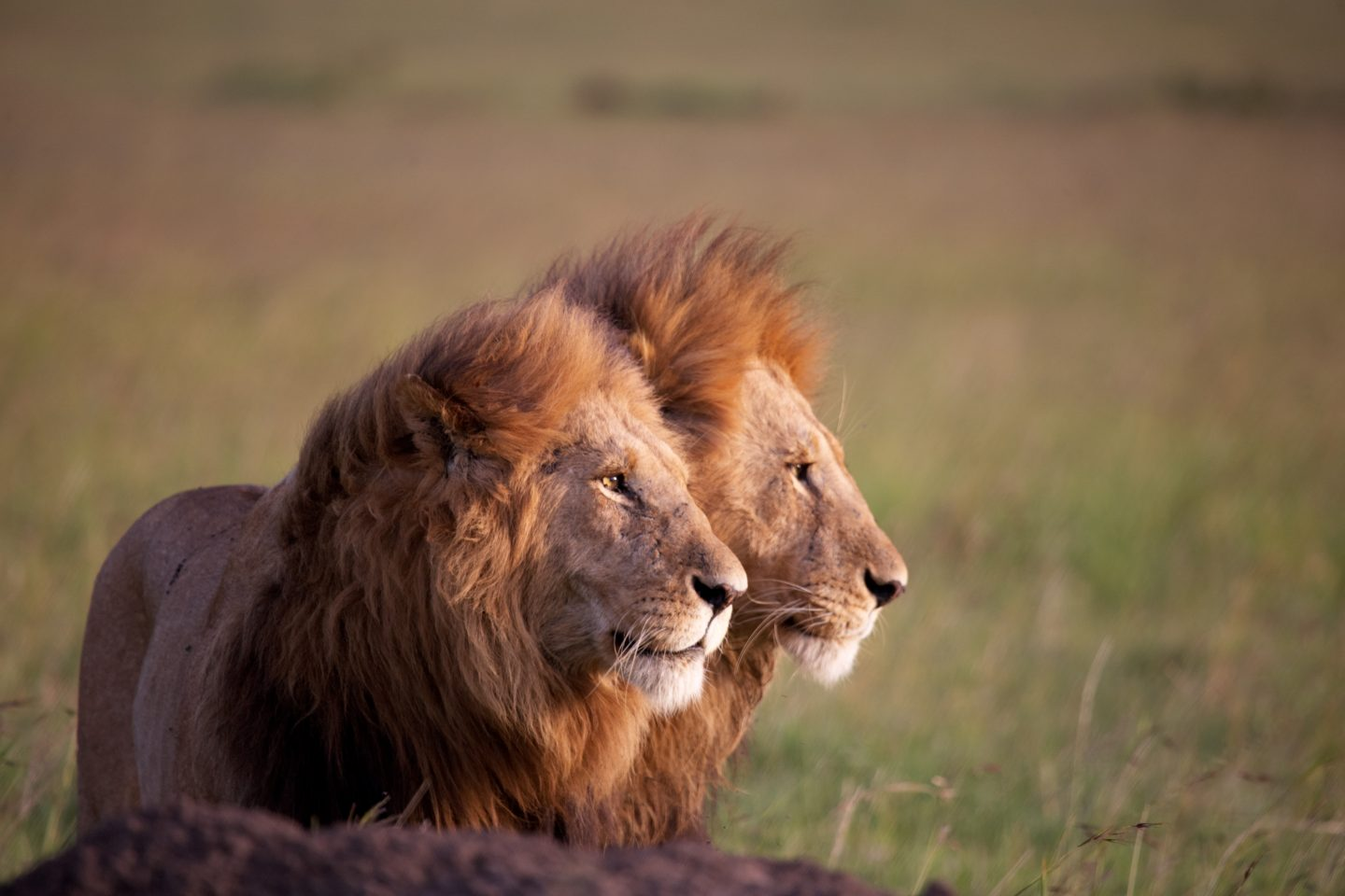 Male Lions Profile