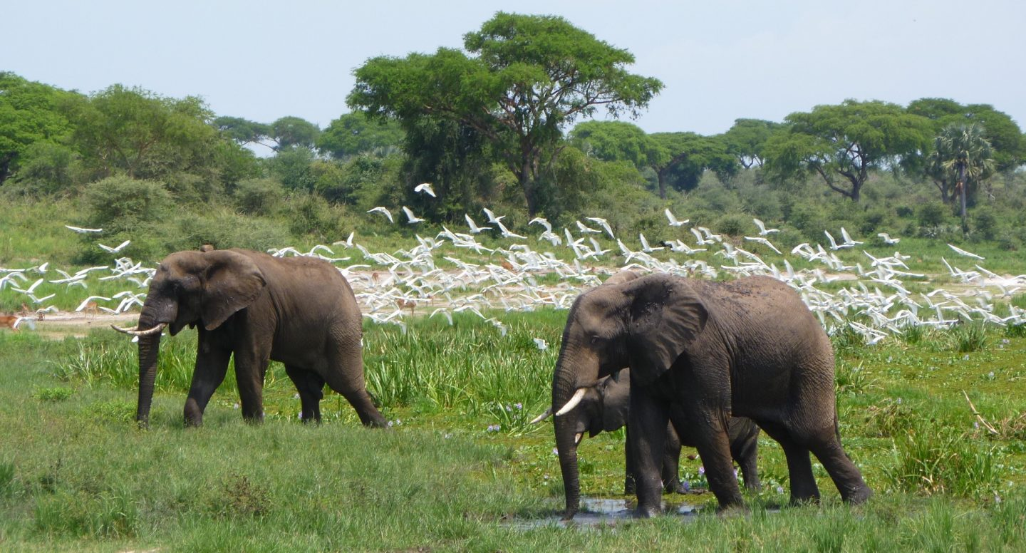 African Elephants at Murchison Falls