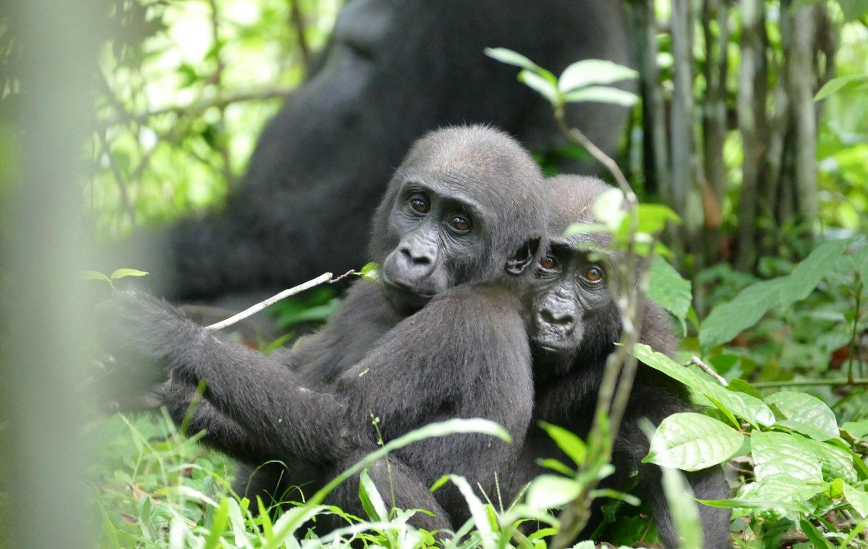 Loango Gorillas © Martha Robbins