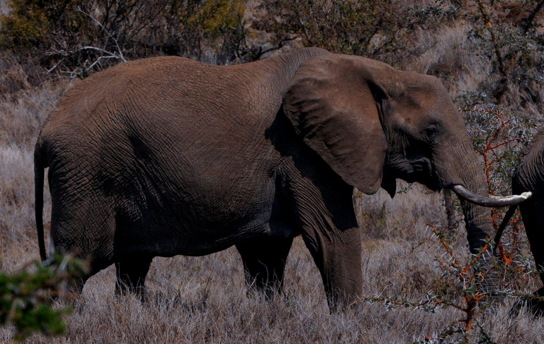 Elephant Lewa