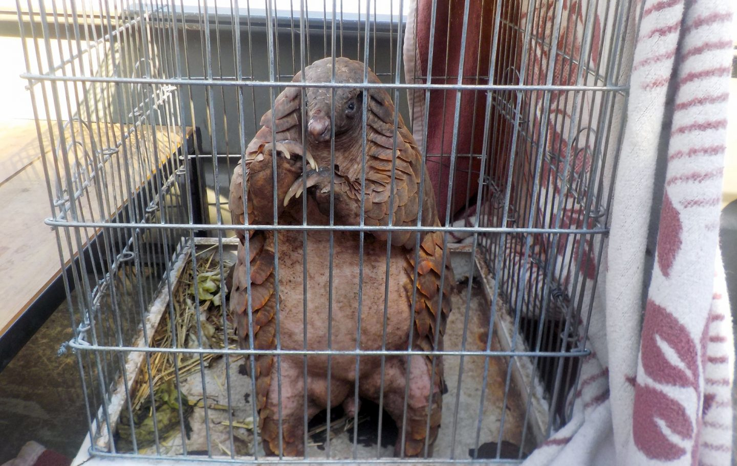 Pangolin captured in a cage