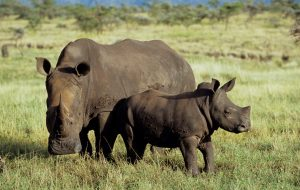 White Rhino & Calf at Lewa © Merrick