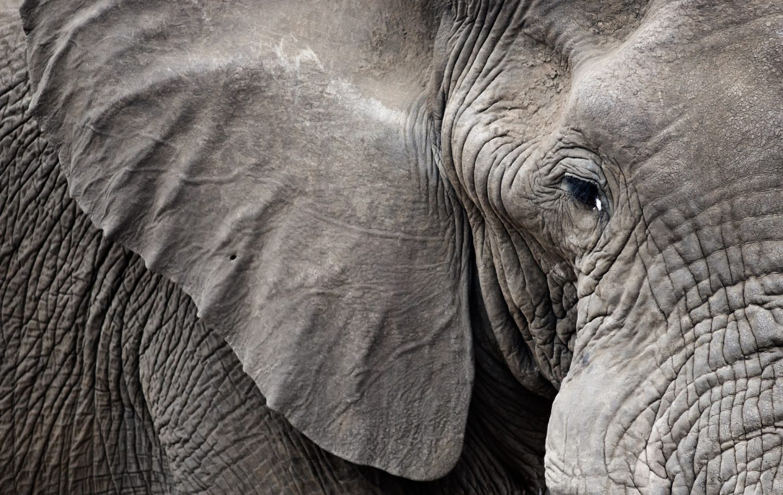 Elephant Ear
