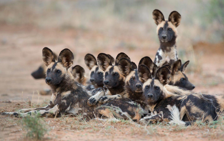 Tusk Trust - Botswana Predator Conservation Trust Wilddogs Madikwe1_Fotor copy