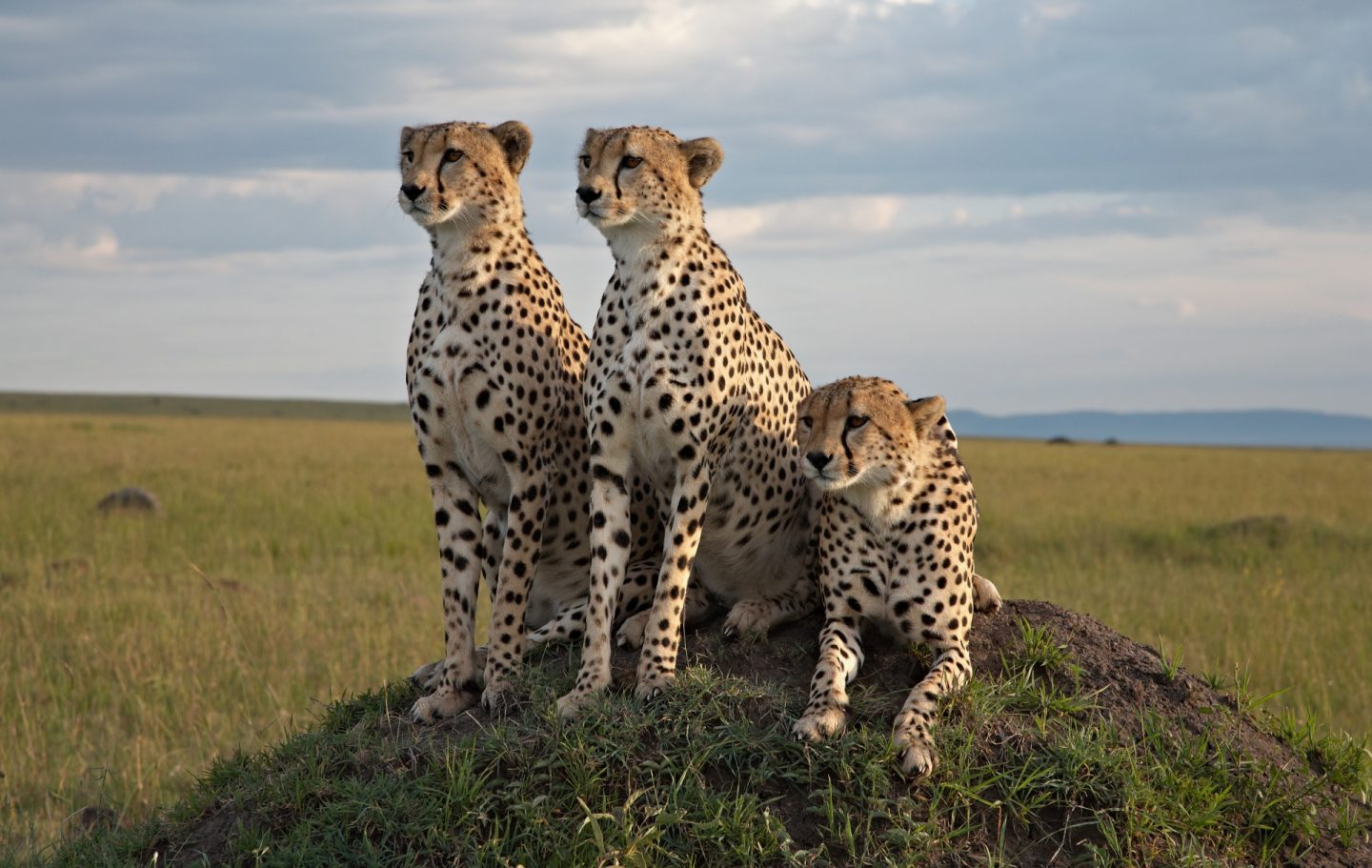 The Cheetah Brothers © Africat