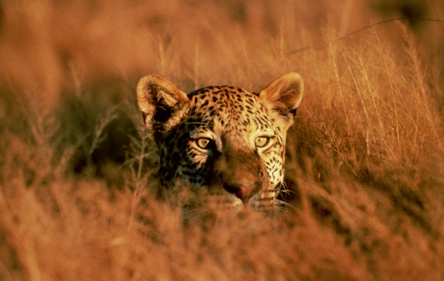 Leopard in Grass © Africat