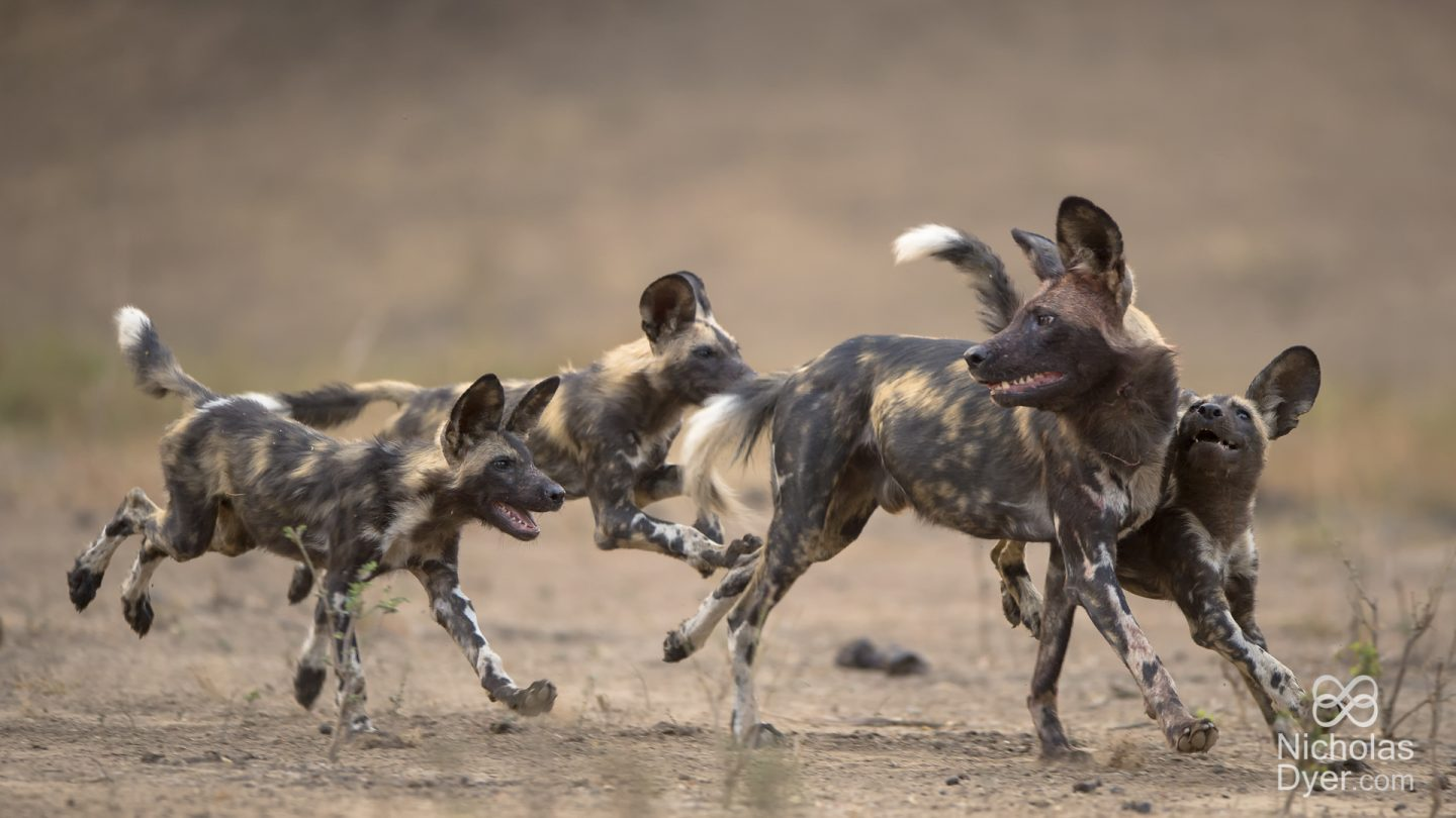 Painted Dog Conservation © Nicholas Dyer