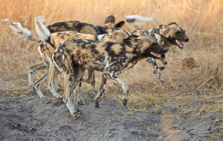 Tusk Trust - Botswana Predator Trust