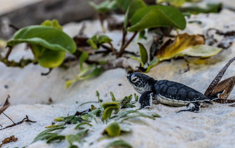 Tusk Trust - Local Ocean Trust_Green Turtle Hatchling_ Watamu Kenya_By Lara Diesbecq