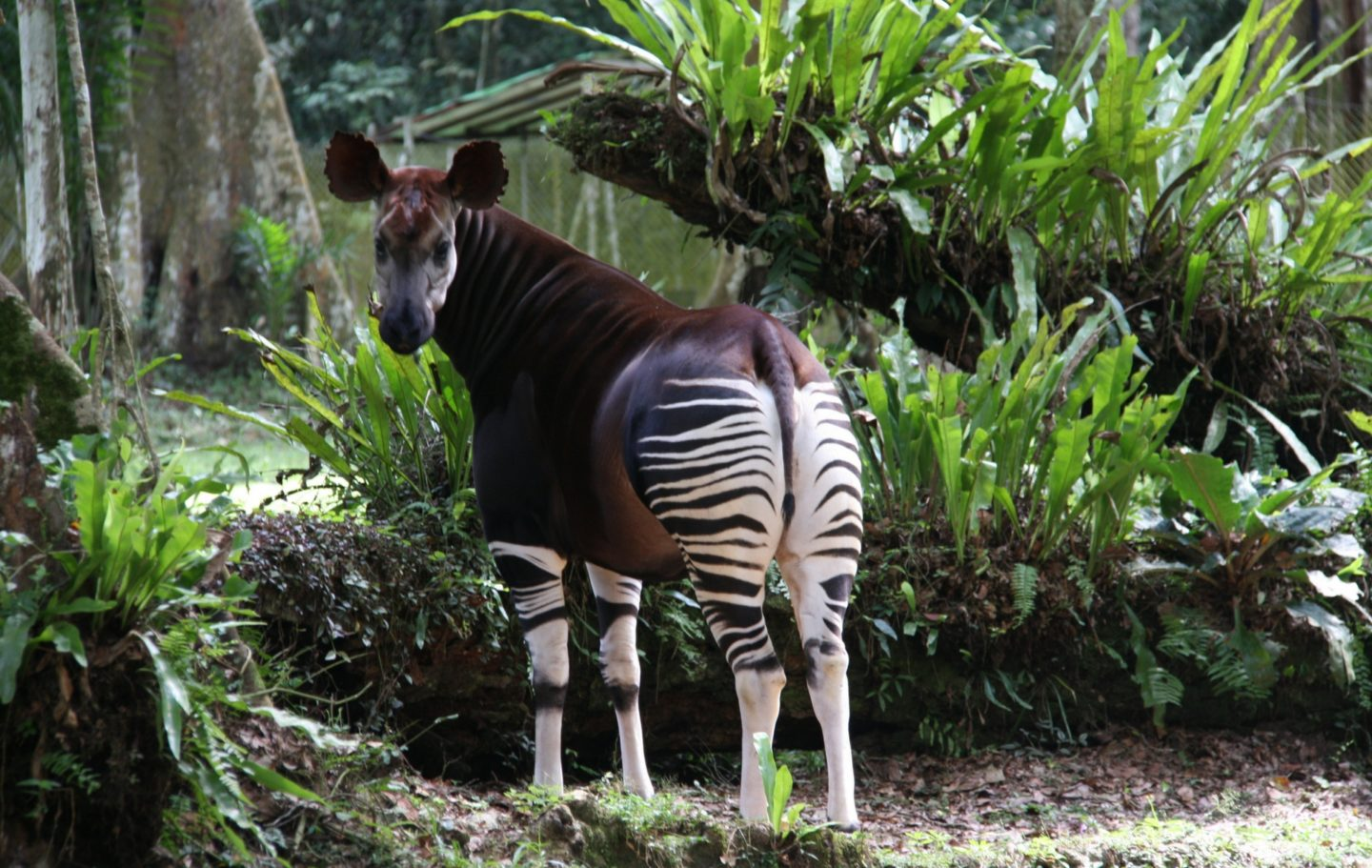 Okapi Conservation Project