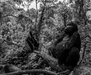 Tusk Trust - Pole Pole The blackback male Meteo with the left hand off photo David Yarrow