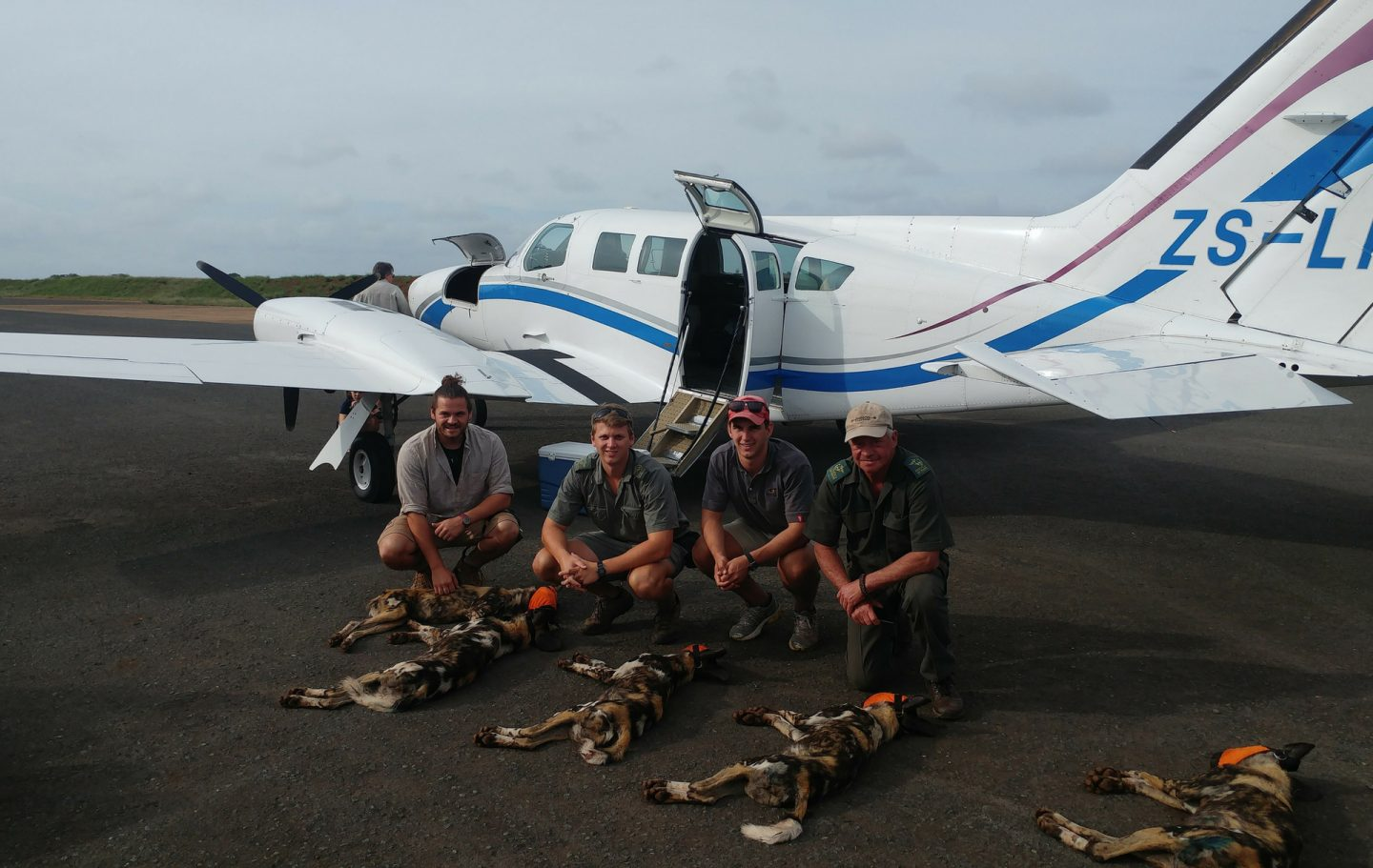 Tusk Trust - The Bateleurs Translocation of Wild Dog