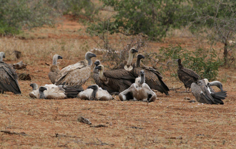 Tusk Trust - Vulture Conservation