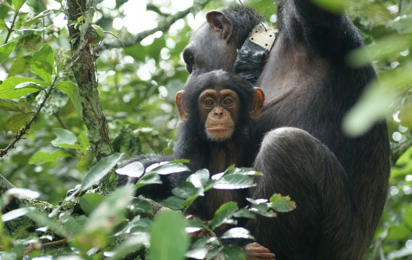 Tusk Trust - Chimpanzee Conservation Center 2