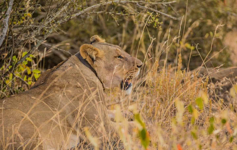 Tusk Trust - Lion Landscapes Victoria