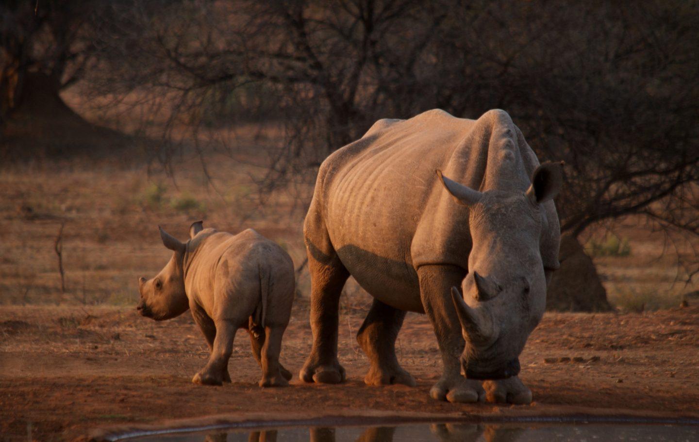 Tusk Trust - Save the Waterberg Rhino - PC Wild Revolution