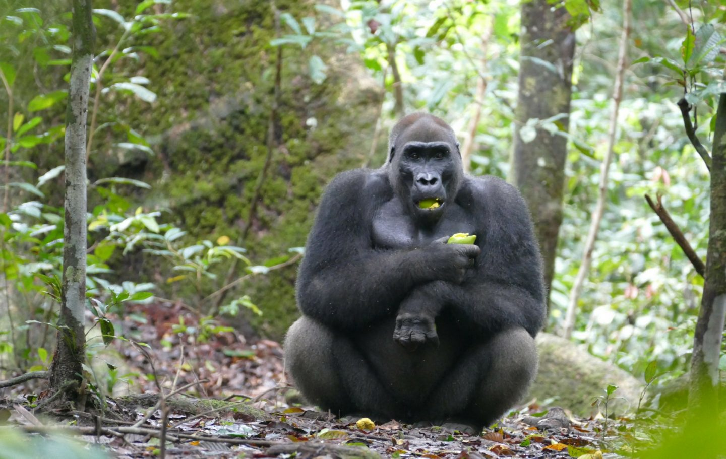 Tusk Trust - The Loango Gorilla Project.