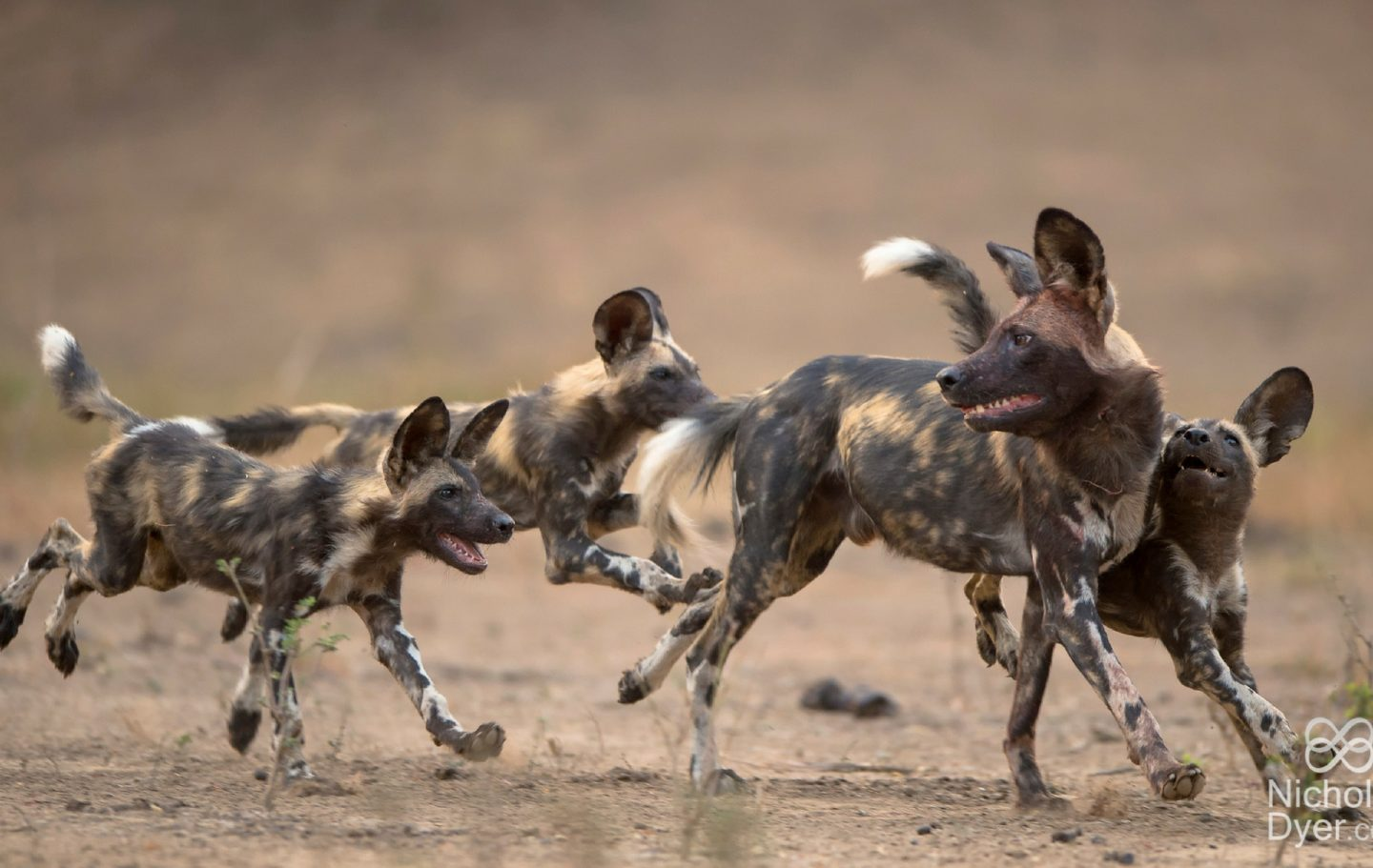 Tusk Trust - The Painted Dog Conservation © Nicholas Dyer