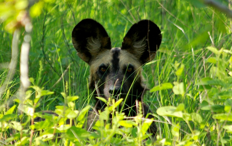 Tusk Trust - The Ruaha Carnivore Project