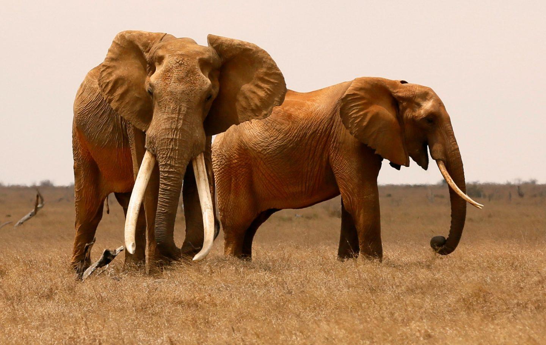 Tusk Trust - Tsavo Trust - Big Tusker Bull with cow