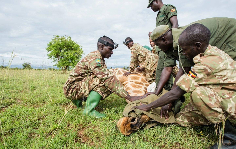 Tusk Trust - Uganda Conservation Fund Vet_Research_Giraffe_MFCA_2015_©Sherry.McKelvie (1)