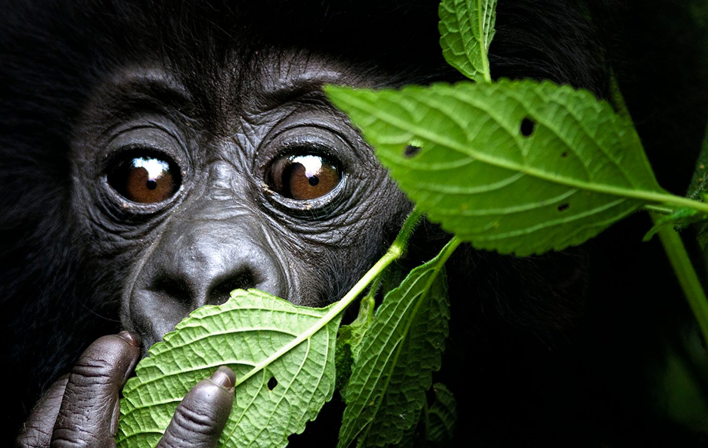 Green Leaf Gorilla © David Yarrow