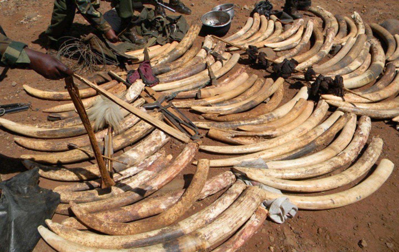 Tusk Welcomes UK Ban On Ivory Sales