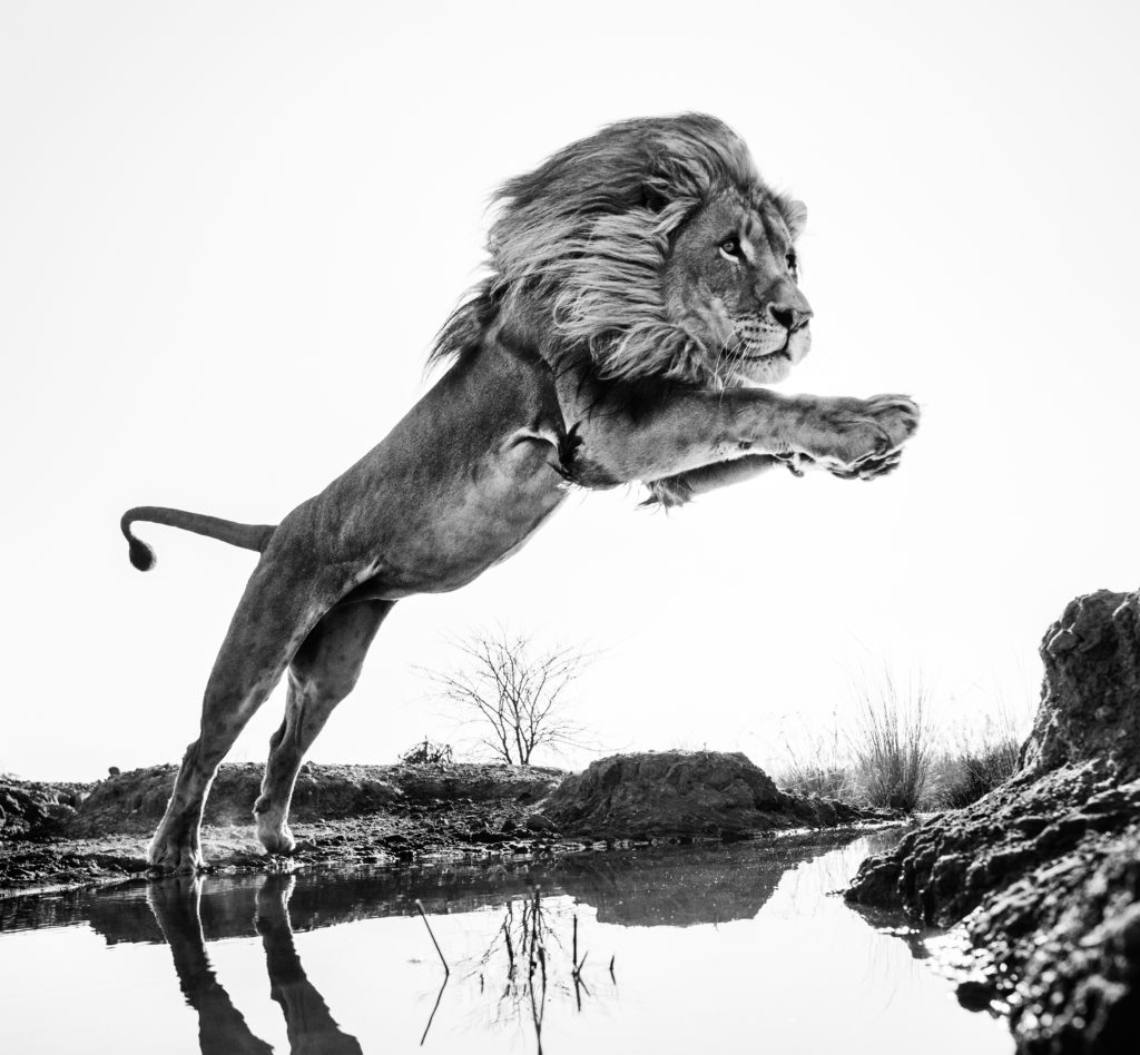 Lion King © David Yarrow
