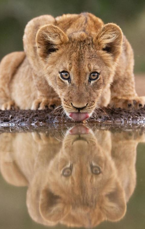 Lion Cub Having a Drink by Dave Atkinson