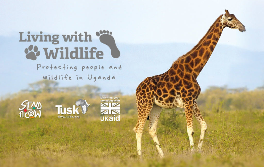 Living With Wildlife Appeal - Rothschild's Giraffe