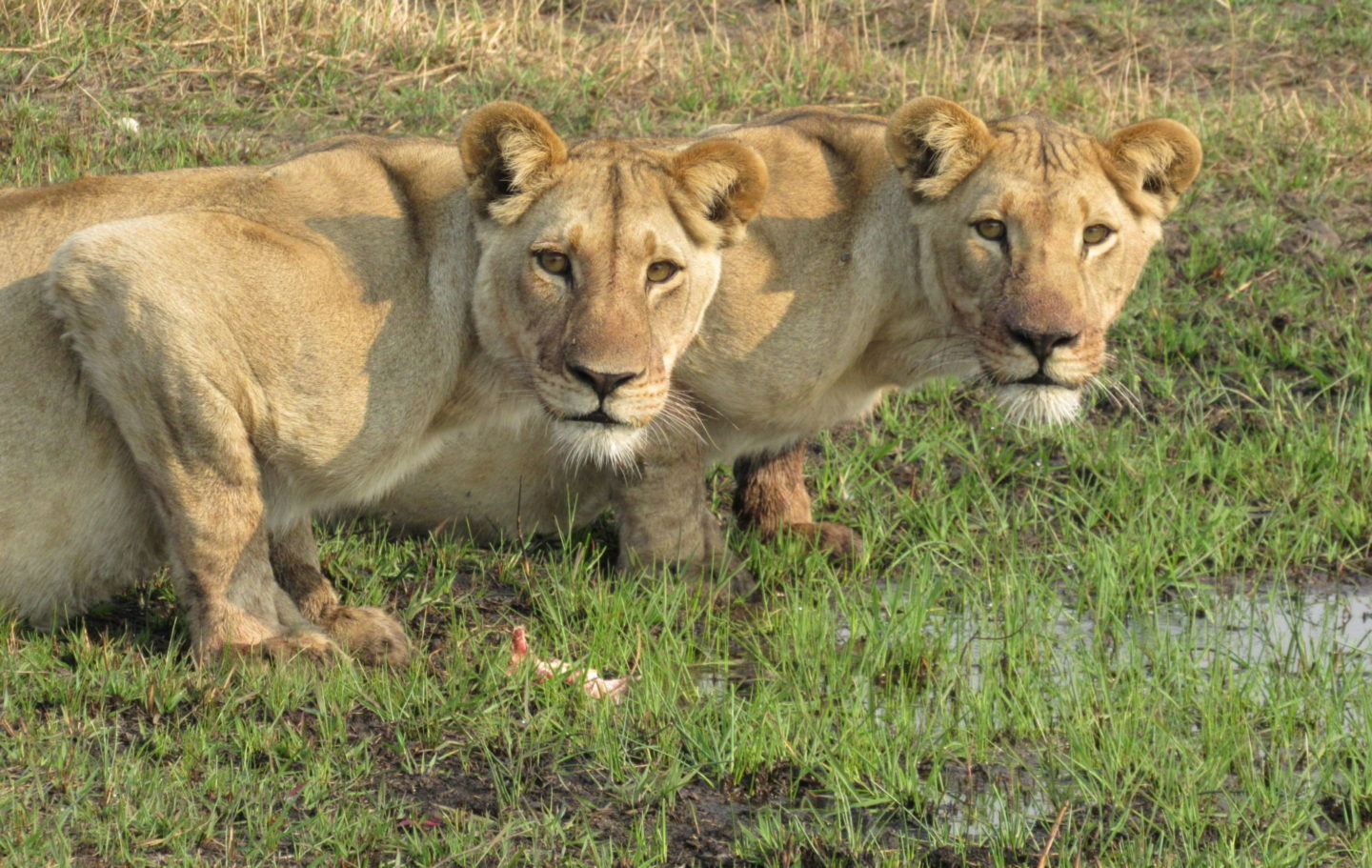 CLAWS Conservancy - Secharo and Sister